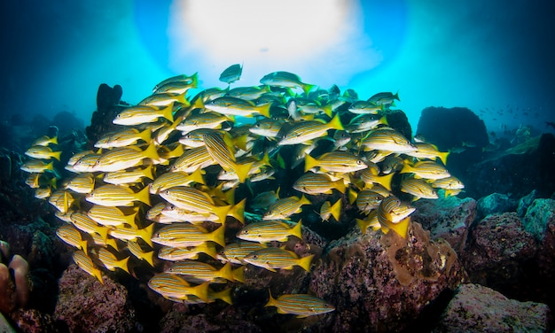 Shoal of colorful yellowtail snappers fish school swim in tropical underwaters. bluestripe snapper in underwater world. observation of wildlife. scuba diving adventure in ecuador coast of galapagos