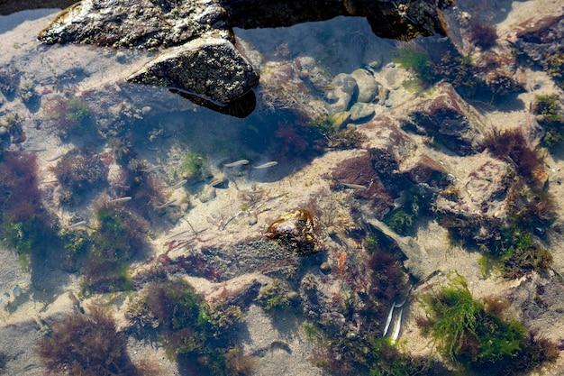 Broad haven pembrokeshire의 바위 웅덩이에 있는 작은 물고기 떼