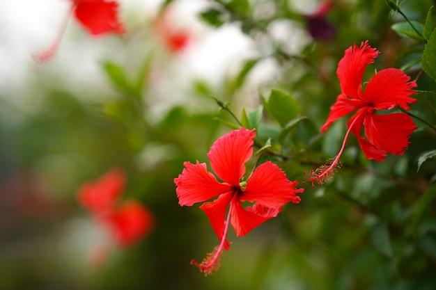 구두 꽃이나 히비스커스, 밝은 빨간색, 녹색 잎 배경, 귀나 머리에 가져오는 것으로 인기가 있습니다.