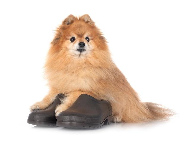 Обувь для сада и шпица на белом фоне