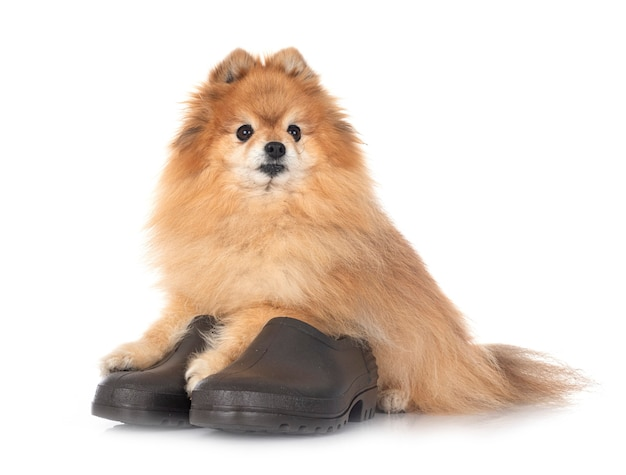 Shoes for garden and spitz  in front of white background