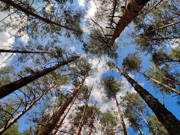 松林の広角レンズで下から上へ撮影