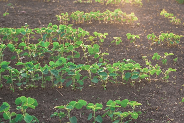 Shoots of fild with green beans sprouts in sunset. nice landscape