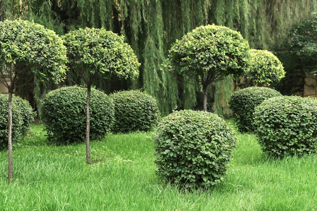 Shorn bushes in the park