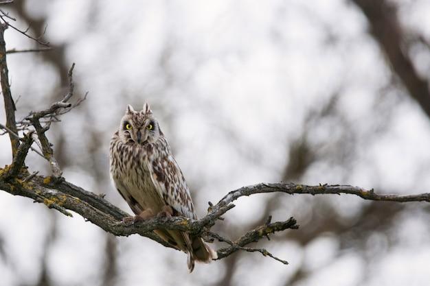 短い耳のフクロウasio flammeusが木の枝に座っています。
