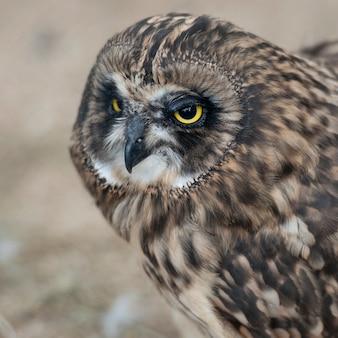 Short-eared owl, closeup of face
