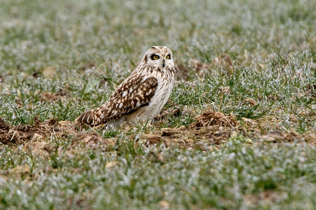 Short-eared owl on a freezing january morning