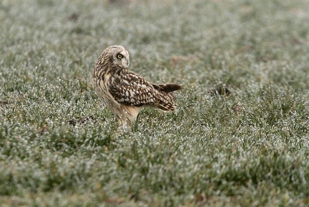 Ушастая сова в замерзшем поле первым делом с утра
