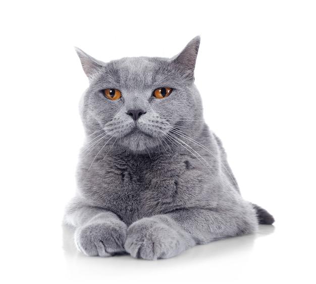Серая короткошерстная кошка, изолированная на белой поверхности