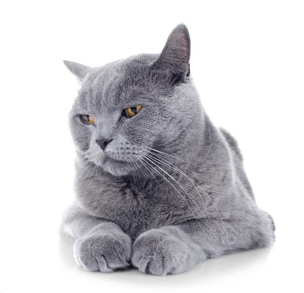 Серый кот короткошерстный на белом