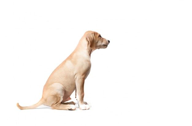 側に見て座って毛足の短い金髪の犬