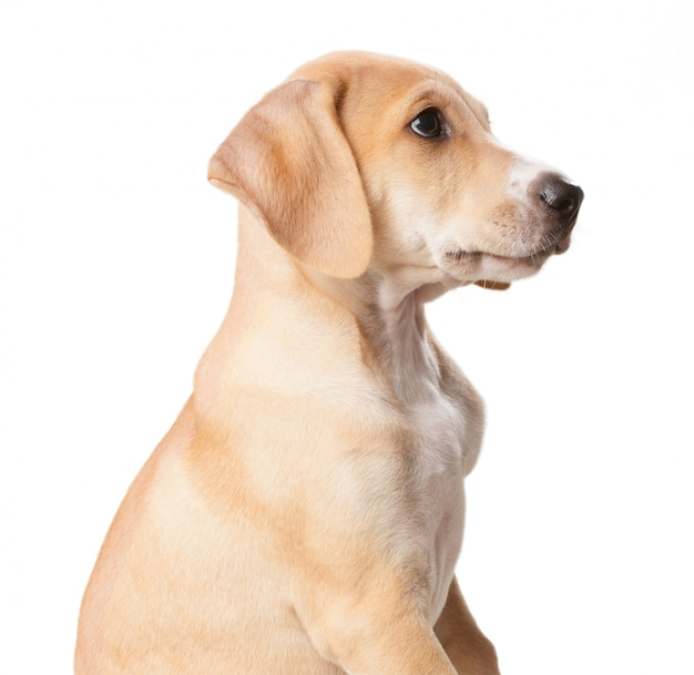 Short haired blond dog with mouth closed close up