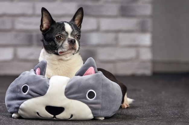 Short-haired chihuahua dog posing indoors in a big toy on a white brick background