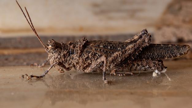 Short-horned grasshopper of the family ommexechidae