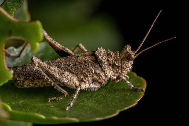 Short horned grasshopper of the family ommexechidae