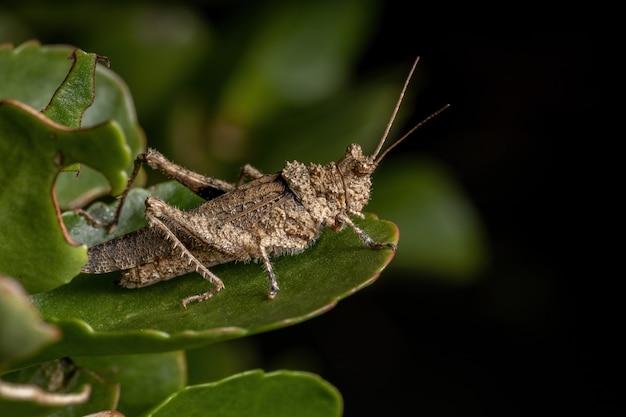 Short horned grasshopper of the family ommexechidae