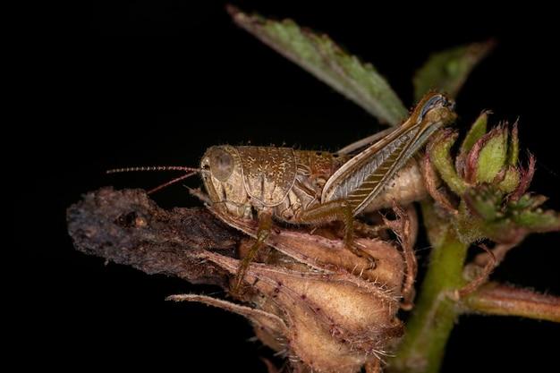 짧은뿔메뚜기과의 애벌레