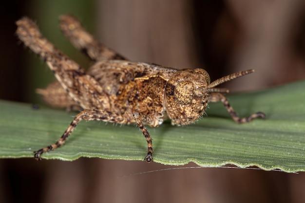 バッタ科の短角バッタ幼虫