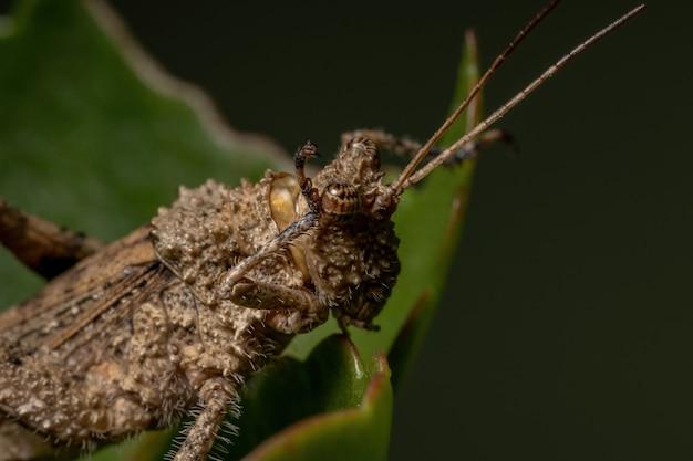 Короткорогий кузнечик семейства ommexechidae