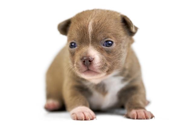 격리 된 흰색 배경에 shorthaired 치와와 강아지입니다. 작은 귀여운 갈색 개 품종.