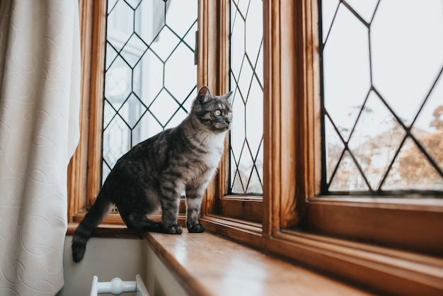 Inquadratura di un bellissimo gatto fantasia grigio e nero con gli occhi gialli guardando fuori dalla finestra