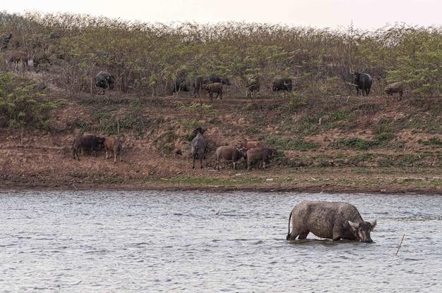Shot of buffalos on the shore and in the doi tao lake, thailand, asia