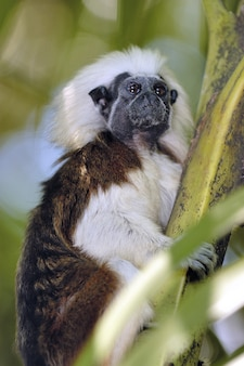 Shot of the cotton top tamarin monkey sitting on a tree