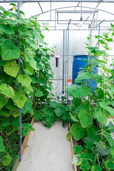 Shot of cucumber plants growing inside a greenhouse.