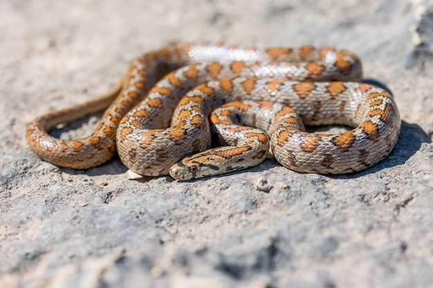 Shot of a curled up adult leopard snake or european ratsnake, zamenis situla, in malta