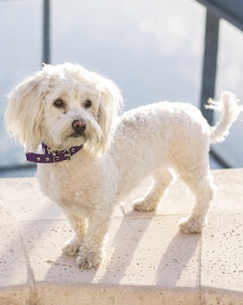 Inquadratura di un simpatico, adorabile cane barboncino bianco curato con un collare viola