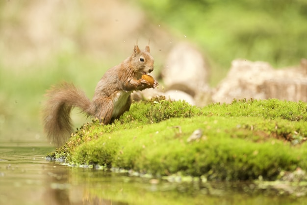 Shot of a cute squirrel getting out of the water with a nut
