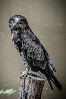 Inquadratura di un falco feroce e potente con piume nere e grigie e occhi gialli