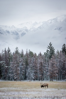Shot of a grazing elk, an animal and picturesque winter nature