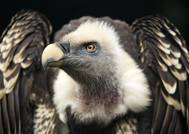Colpo di un avvoltoio grifone sul nero