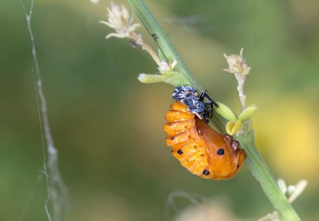 Shot of a ladybug pupa on a plant