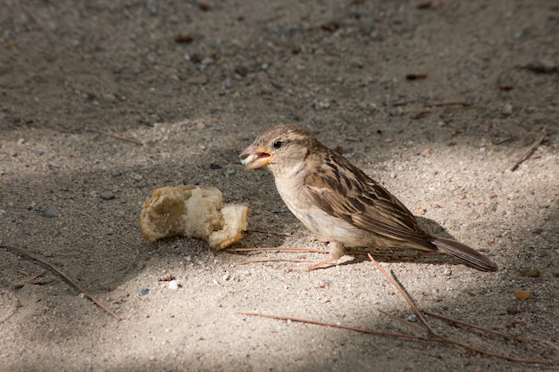 Shot of a little  sparrow eating a piece of bread