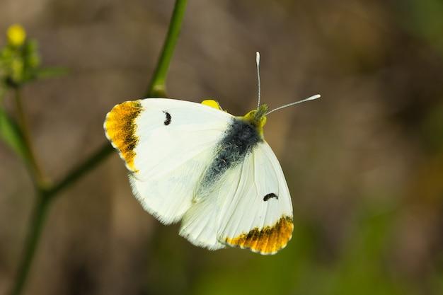 낮 동안 야외에서 아름다운 속 Pieridae 나비의 총 무료 사진