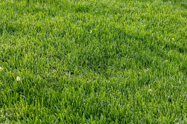 刈りたての明るい緑の芝生のショット