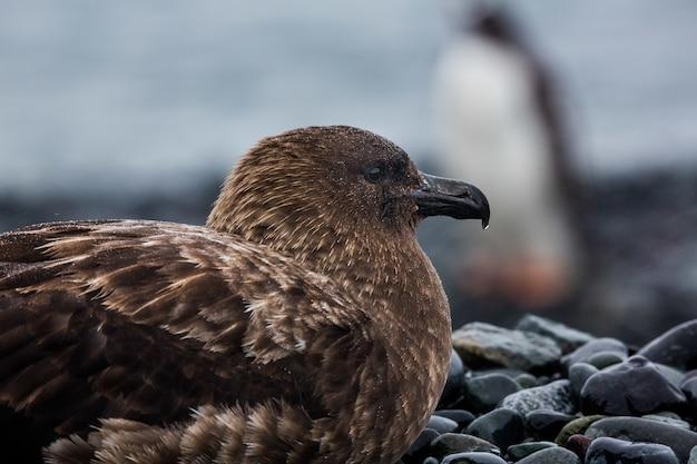 남극 대륙에있는 돌에 갈색 skua의 총