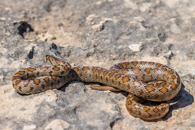 丸まった大人のヒョウモンナヘビまたはヒョウモンナメヘビのショット