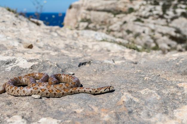 웅크리고 성인 표범 뱀의 샷