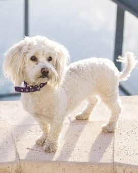 紫色の襟付きのかわいい、愛らしい手入れの行き届いた白いプードル犬のショット