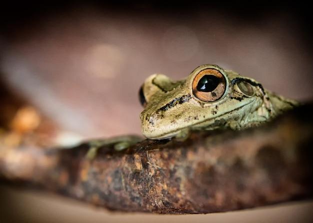 Кадр из маленькой древесной лягушки с остроконечными ушами