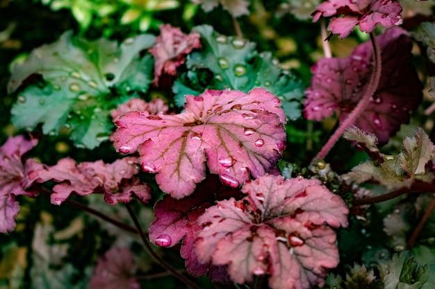 비 후 물 방울과 보라색과 녹색 잎의 총