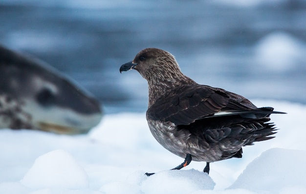 Выстрел поморника, стоящего на заснеженной земле в антарктиде