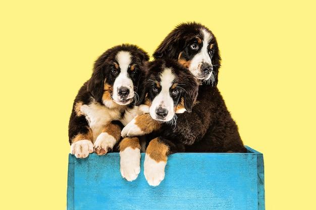 黄色の壁にバーニーズ・セネンハンドの子犬のショット