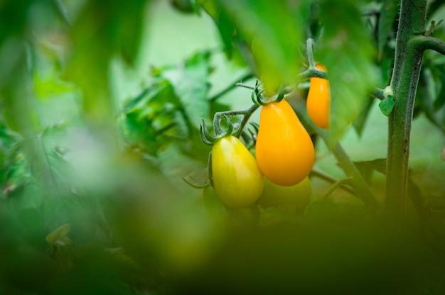 Выстрел из желтых помидоров черри в летнем саду