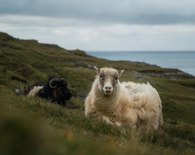 山で放牧している羊のショット