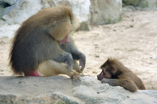 바위 위에서 자고 있는 두 마리의 갈색 머리 개코원숭이의 샷