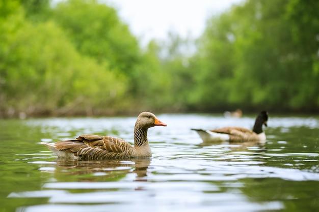 Выстрел из двух уток, плавающих в озере с деревьями